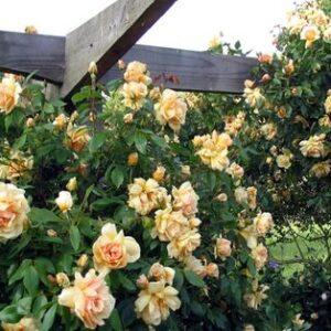 Climber / Rambler Rose - Crepuscule