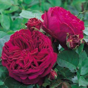 Climber / Rambler Rose - Falstaff