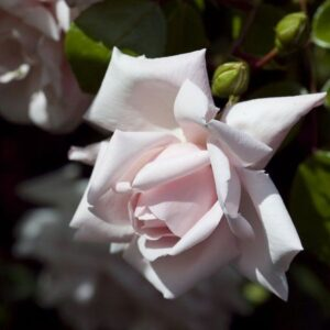 Climber / Rambler Rose - New Dawn