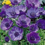 Anemone De Caen (Single Flowering) – Blue Poppy