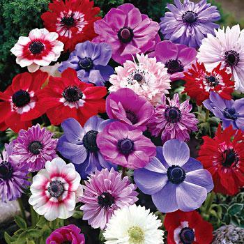 Anemone St Brigid (Double Flowering) - Mixed