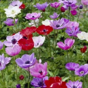 Anemone De Caen (Single Flowering) - Mixed