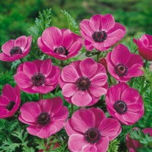 Anemone De Caen (Single Flowering) - Sylphide