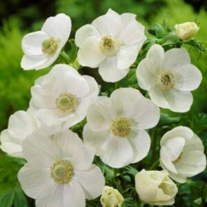 Anemone De Caen (Single Flowering) - The Bride
