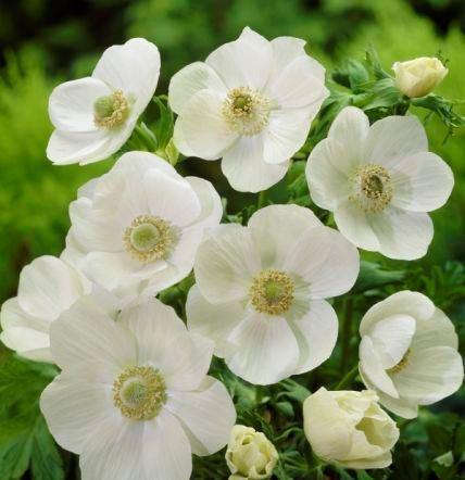 Anemone De Caen (Single Flowering) – The Bride