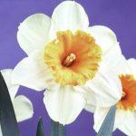 Daffodils White Perianths – Johann Strauss