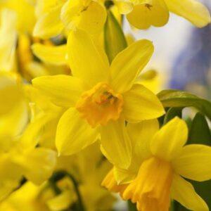 Daffodils Miniature - Tete-a-tete