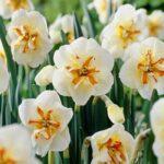 Daffodils Split Corona – Broadway Star