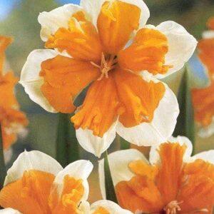 Daffodils Split Corona - Orangery