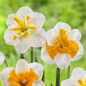 Daffodils Split Corona - Sorbet