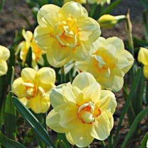 Daffodils Double - Tahiti