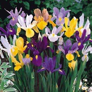 Dutch Irises Mixed - Mixed colours
