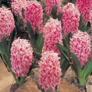 Hyacinth - Lady Derby