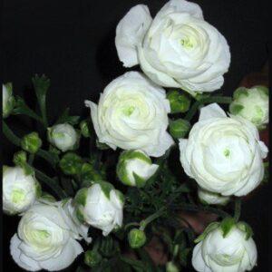 Ranunculus asiaticus - White