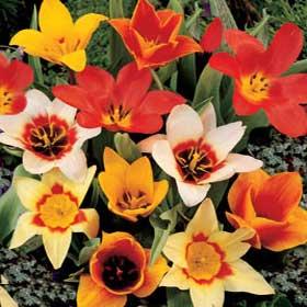 Tulips, Dwarf - Mixed Dwarf
