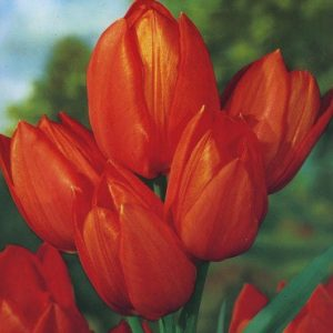 Tulips, Dwarf - Orange Toronto