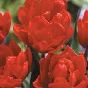 Tulips, Peony - Abba