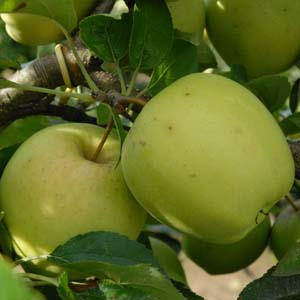 Apple Golden Delicious – PB12/18