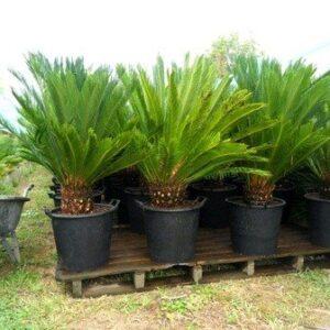 Cycas Revoluta  (Sago Palm) - 50L (140/160)