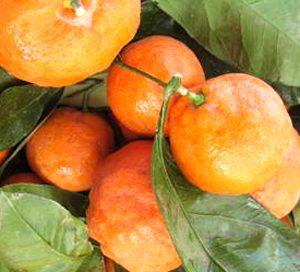 Mandarin Encore - PB10