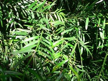 Podocarpus gracilior - PB6.5 (60/70)