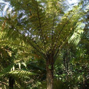 Fern - Dicksonia squarrosa - PB18 (100/125)