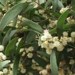 Acacia melanoxylon - RT (30)