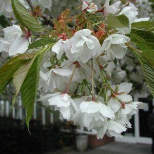 Prunus 'Shirotae'  - PB95 (220/240)