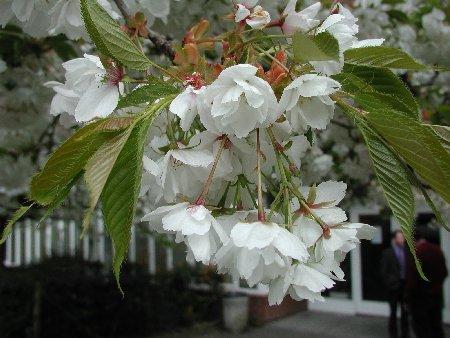 Prunus 'Shirotae'  – PB95 (220/240)