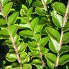 Lonicera nitida Honey Hedge Lime - 1.5Ltr (20/30)