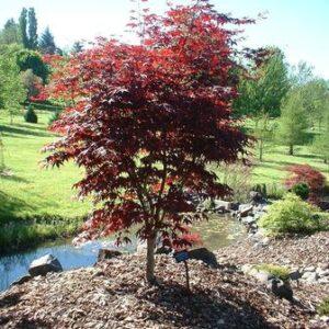 Acer palmatum 'Red Emperor'  - PB40 (150/180)