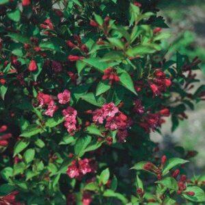 Weigela florida Newport Red - PB6.5 (30/40)