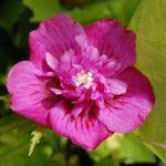 Hibiscus syriacus Leopoldii - PB6.5 (30/40)