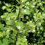 Pittosporum tenuifolium - PB3/4 (30/40)