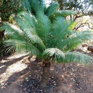Cycas thouarsii - PB6.5 (20/30)