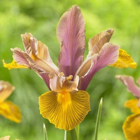 Dutch Irises Bronze Shades – Lion King