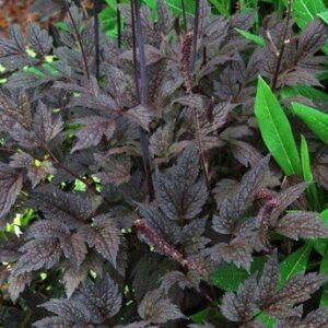 Actaea simplex Black Negligee - 2Ltr Pot (20/30)