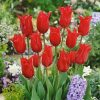 Tulips, Lily - Pretty Woman
