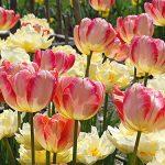 Tulips, Parrot – Apricot Parrot