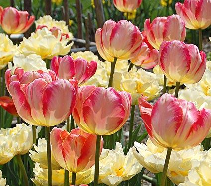 Tulips, Parrot - Apricot Parrot