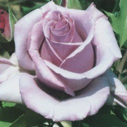 Bush Rose - Hybrid Tea 'Blue Nile'