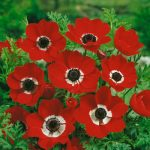 Anemone De Caen (Single Flowering) - Hollandia