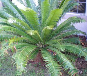 Dioon spinulosum - PB6.5
