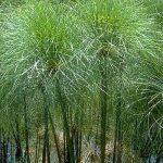 Cyperus Papyrus - PB18 (80/100)