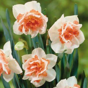 Daffodils Double - Replete