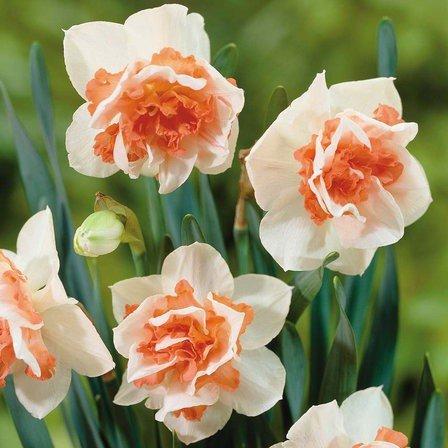 Daffodils Double – Replete