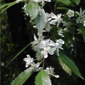 Hoheria Angustifolia - PB6 (100/125)