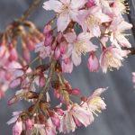 Prunus campanulata 'Pink Cloud' – PB60 (200/240)