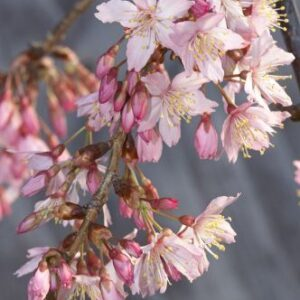 Prunus campanulata 'Pink Cloud' - PB60 (200/240)