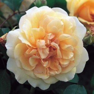 Shrub, Patio & Old Fashioned Roses - 'Buff Beauty'